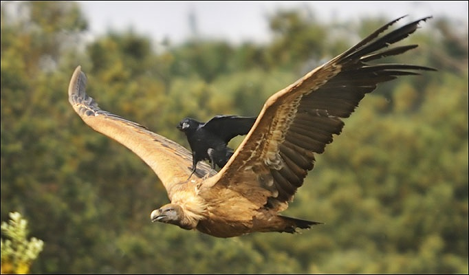 Crow knight of air