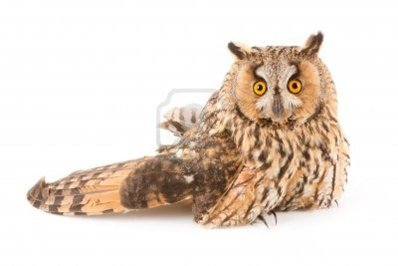 13765988-a-bird-with-a-broken-wing-long-eared-owl-asio-otus